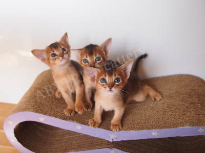 Abyssinian kittens, age 1 month. Litter A. ABYTRISS