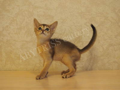 Abyssinian kitten - 1.5 months. ABYTRISS_1