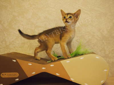 Abyssinian kitten - 1.5 months. ABYTRISS_2