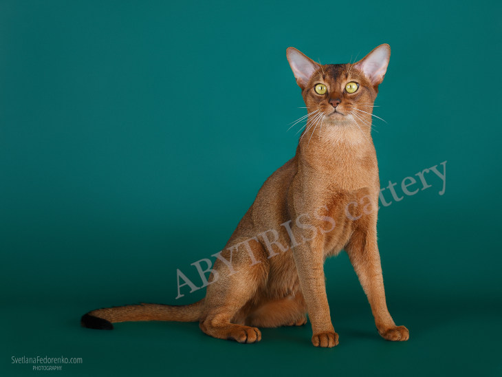 ABYTRISS cattery's cats. A Sharm RU Heart of the Ocean