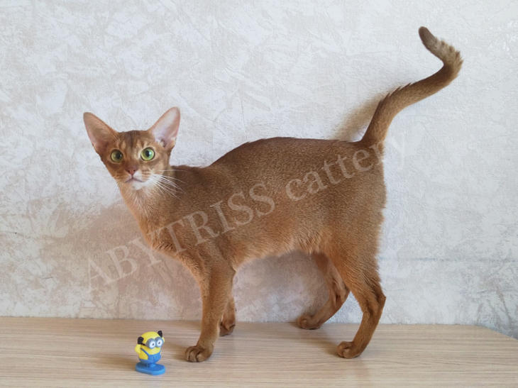 ABYTRISS cattery's cats. Ska-Ska Odillia of ABYTRISS
