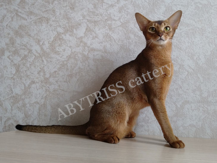 ABYTRISS cattery's cats. A Sharm RU Treasure of the Soul