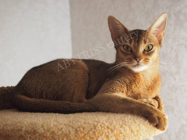 Abyssinian cats - what are they? Cover