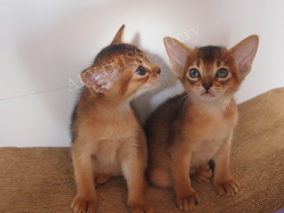 New album of Abyssinian kittens. Cover